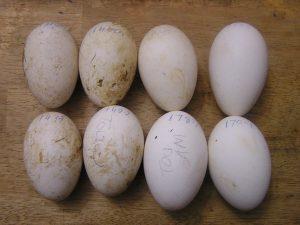American Buff Goose Eggs