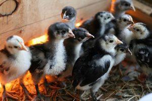 Australian Langshan Chicks