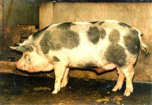 Ba Xuyen Pig
