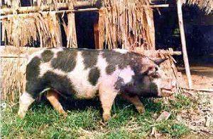 Ba Xuyen Pig Images