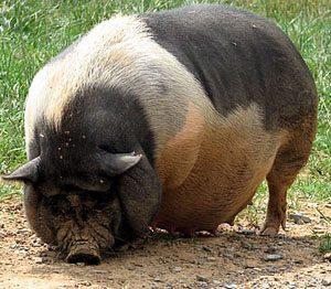 Ba Xuyen Pig Pictures