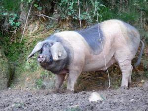Basque Pig