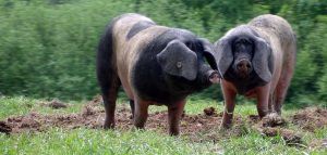 Basque Pigs
