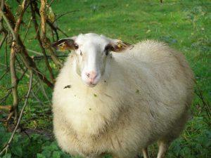 Bentheimer Landschaf Sheep