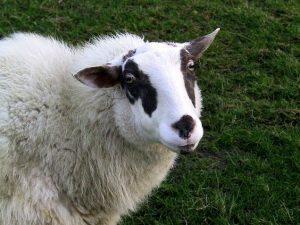 Bentheimer Landschaf Sheep Images
