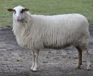 Bentheimer Landschaf Sheep Pictures