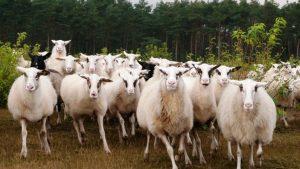 Bentheimer Landschaf Sheeps
