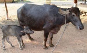 Bhadawari Breed of Buffalo