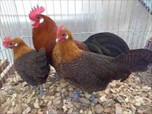 Braekel Chickens