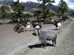 Chyangra Goat