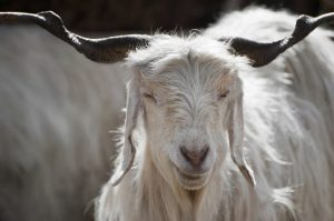 Chyangra Goat Images