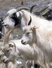 Chyangra Goats