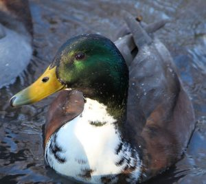 Duclair Duck Images
