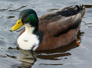 Duclair Duck Pictures