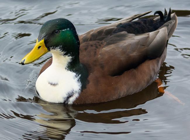 Duclair Duck