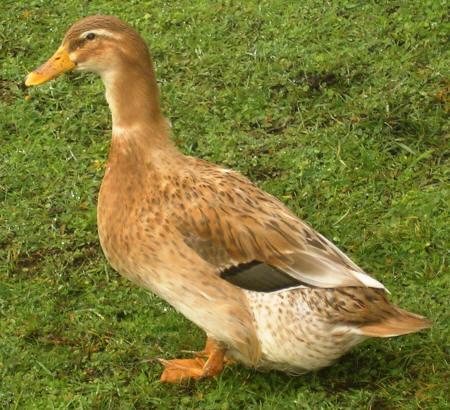Golden Cascade Duck