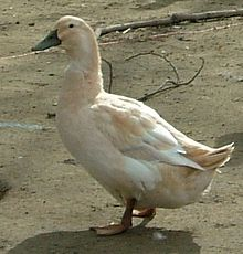 Golden Cascade Duck