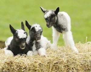 Bagot Goat Baby