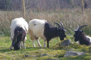 Bagot Goat Images