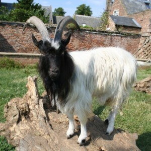 Bagot Goat Photos