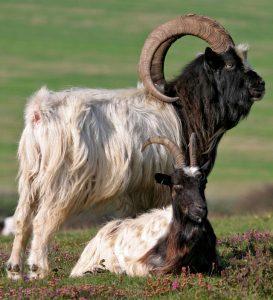 Bagot Goat Pictures