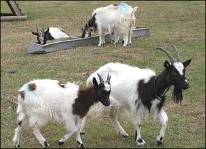 Bagot Goats