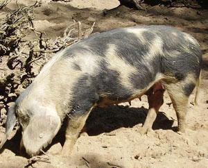 Belarus Black Pied Pig