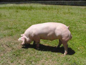 Belgian Landrace Pig