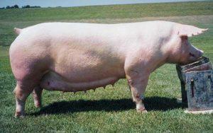 Belgian Landrace Pig Images