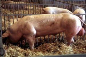 Belgian Landrace Pig Pictures