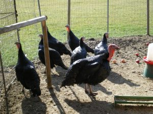 Bourbonnais Black Turkey Pictures