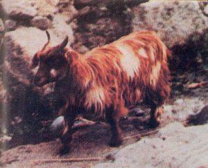 Caninde Goat