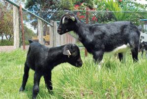 Caninde Goat Babies