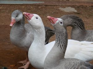 Cotton Patch Geese