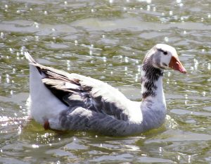 Cotton Patch Goose Pictures