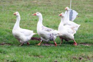 Czech Gooses