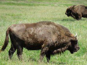 Romanian Buffalo