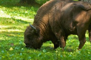 Romanian Buffalo Pictures