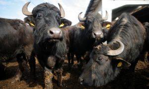 Romanian Buffalos