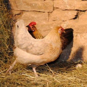 Ardennaise Hen