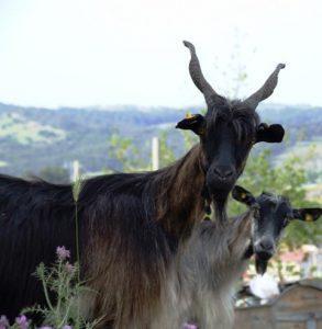 Aspromonte Goat