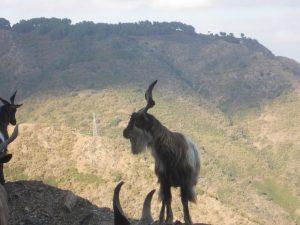 Aspromonte Goat Pictures