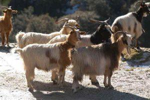 Aspromonte Goats
