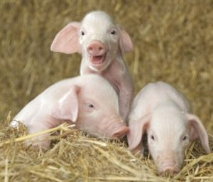 Baby British Lop Pig