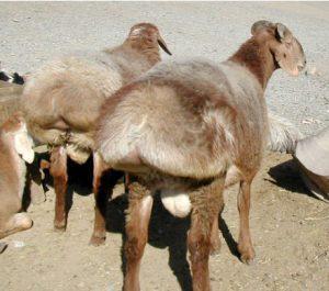 Balkhi Sheep
