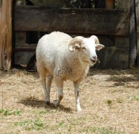 Balkhi Sheep Pictures