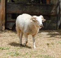 Balkhi Sheep Pictures