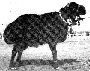 Balkhi Sheeps
