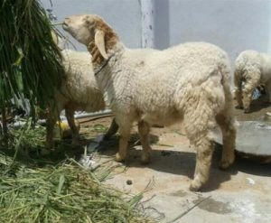 Bandur Sheep