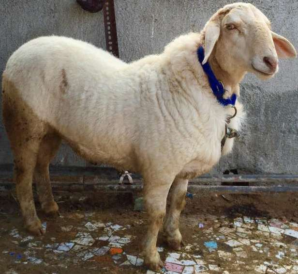 Bannur Sheep